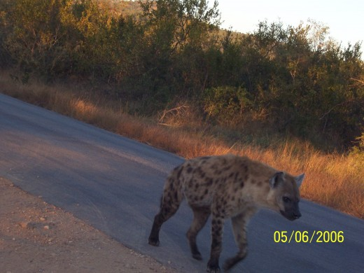 Hyenas are known to patrol the fences of the various camps of Kruger. Unfortunately, visitors to the Park think that reason enough to feed them by throwing bits and pieces of food and meat over the fence. Please don't.
