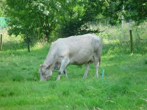 A cow grazed inside the fencing