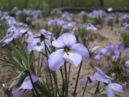 Nathaniel worked the Birdfoot Violet beds