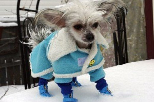 A Chinese Crested wearing his winter blues.