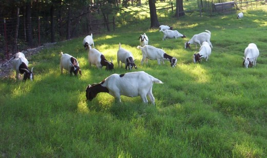 Boer meat goats that were purchased on the farm of a producer. The purchase was the result of a contact made at a local meat goat association meeting.