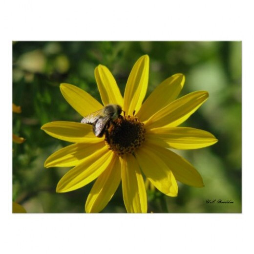 Native sunflowers are important pollinator plants.