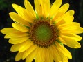 The Stunning Sunflower