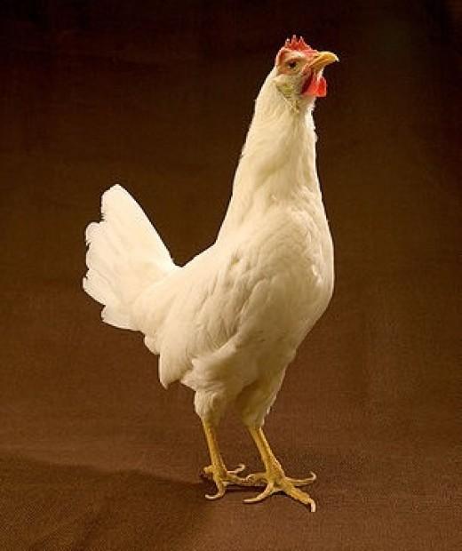 White Leghorn hen.