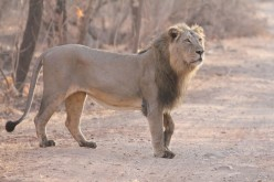Lion Safari at Gir & Conservation