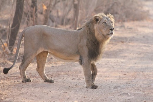 Indian Lion at Gir National Park