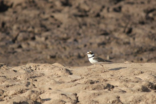 Resident Bird - Little Ringed Plover