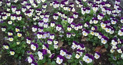 Tri-color Viola