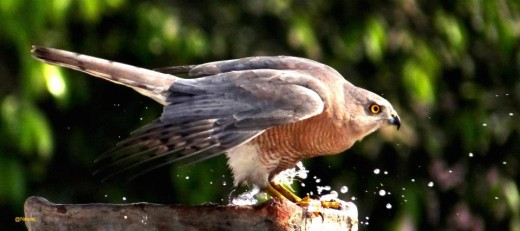 Shikra Falcon