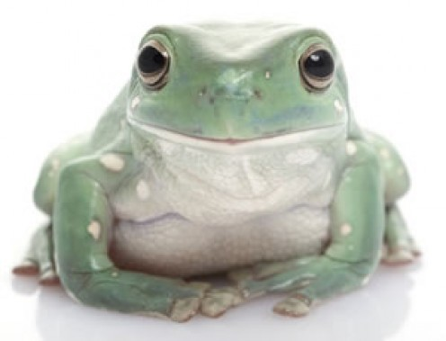 The white's tree frog gets up in size to about 4 inches, and are expected to live up to 21 years. This frog picked up the name dumpy tree frog because it tends to eat too much, and become obese.