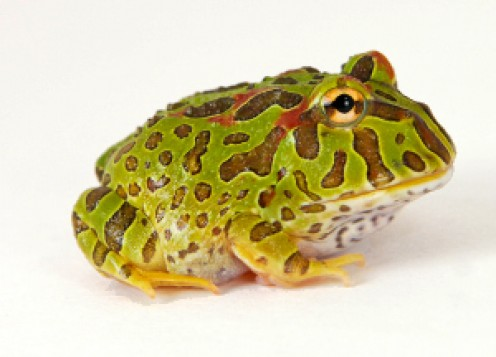 """The green pac man frog lives up to 10 years, and reaches a size of 4 to 6 inches. They are commonly known as """"Pac Man"""" frogs because of their fairly round shape and really large mouth, which makes them resemble the popular video game character."""