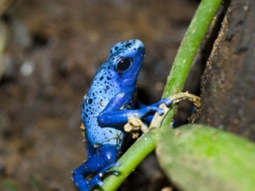The blue poison dart frog was only discovered in South America as recently as 1968. It grows to be about two inches long and has a characteristic hunched back. The feet have four un-webbed toes with suction pads on the ends.