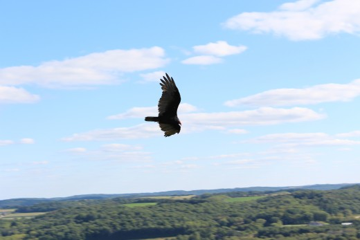 Look at this asshole Turkey Vulture having the time of it's life.