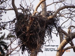 Binelli's Eagle at Nest