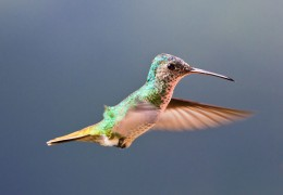 Golden-tailed Sapphire Hummingbird- Using a Perky Pet Glass Hummingbird Feeder in Your Garden