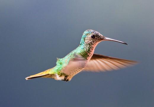 Golden-tailed Sapphire Hummingbird- Using a Perky Pet Glass Hummingbird Feeder in Your Garden