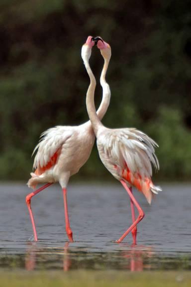 Flamingo Mating