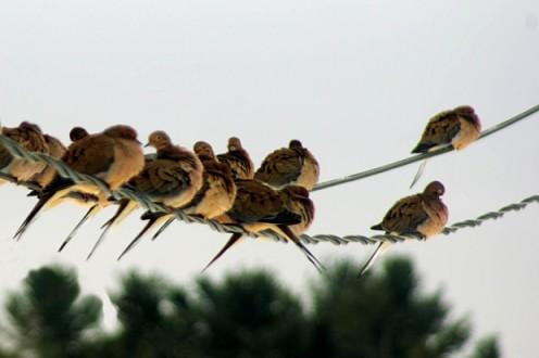 Twittering like Birds