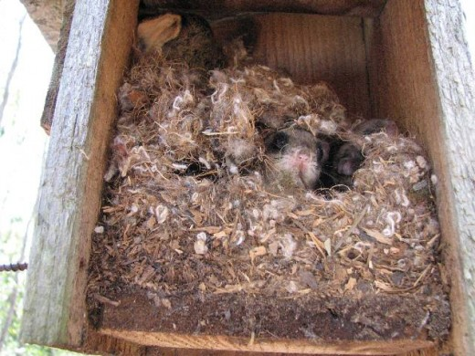 Flying squirrels like to nest in boxes meant for bluebirds.
