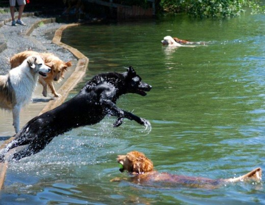 Dogs play in the river at Marymoor Park in Redmond, Washington.