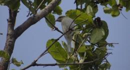 Common Wood Shrike
