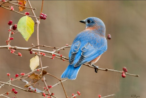 """It was merely a lovely bluebird eating a blueberry."""