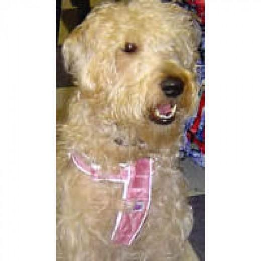 Sophie (Soft-Coated Wheaten Terrier) in her Mutt Gear Harness