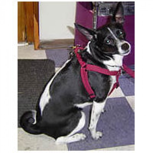 Cookie (mixed breed) in her burgundy Solid Step-in Harness