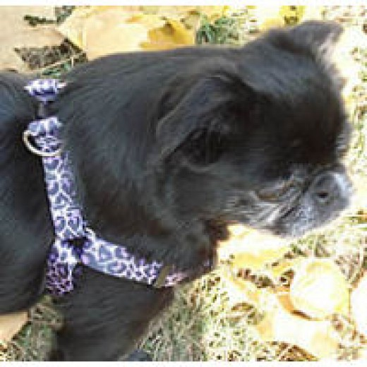 Golly in the Purple Leopard YDD Step-in Harness