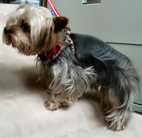 Jack Sparrow (Yorkshire Terrier) in the Plaid Step-in Harness
