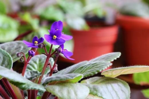 Violets in Pot
