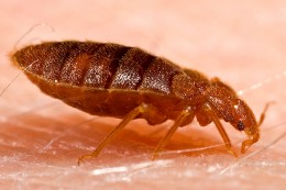 Bed bug getting blood meal.