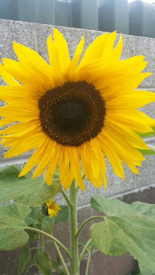 A beautiful sunflower in bloom in my own back yard.