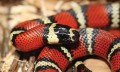 How To Care For A Milk Snake