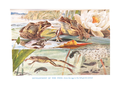 Development of the Frog, Illustration from 'Country Days and Country Ways'
