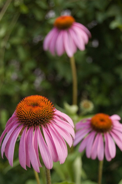 Echinacea purpurea is one of several varieties of echinacea.