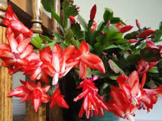 Beautiful Christmas cactus in bloom