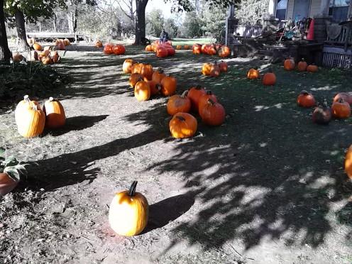 Pick your pumpkin, take it home and make a Jack'o'lantern.