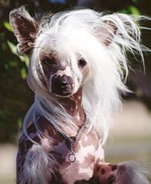 This Chinese Crested has (Hrhr) genetic code.