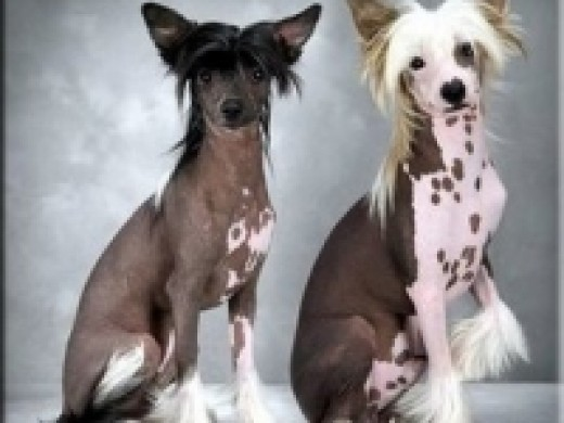 Each of these Chinese Crested's has the dominant  hairlessness mutation.