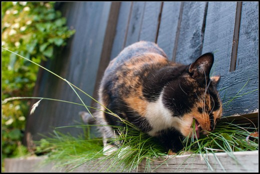 Cats like to eat grass; it is thought it helps them stay regular and can remove hair and worms from their bodies.