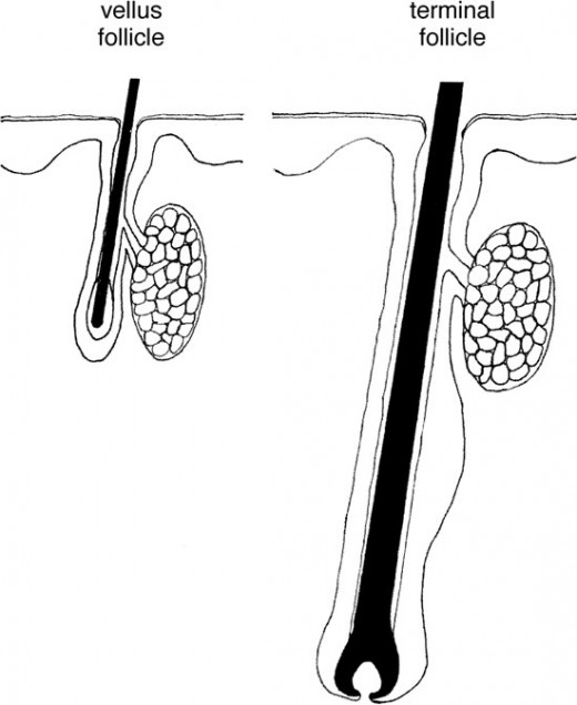 See? Vellus hairs and terminal hairs are different all the way down to the follicle. One can't become the other.