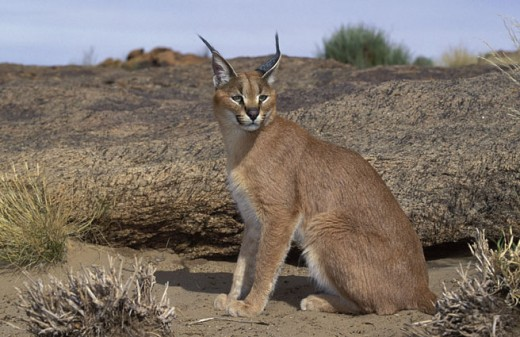 "The solitary caracal. The tufts of hair on the top of their ears are distinctive. The word caracal comes from the Turkish ""kara kulak""  for black ear."