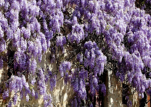 Wisteria grown against a wall