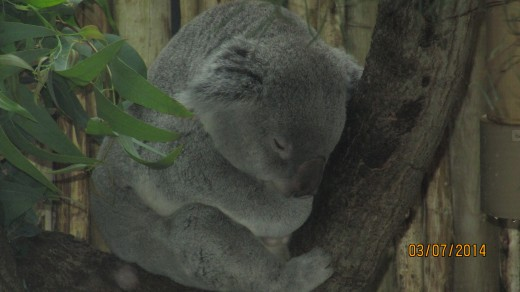 A koala asleep in the tree