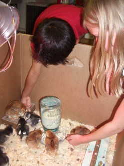 with the baby chicks