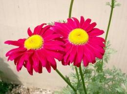 Chrysanthemum coccineum (the Persian chrysanthemum or painted daisy) produces pyrethrin, but not as much as Chrysanthemum cinerariifolium.