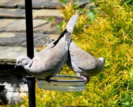 Sociedad de Horticultura del Pacífico | Aliados del jardín: Gleaners entre los pájaros