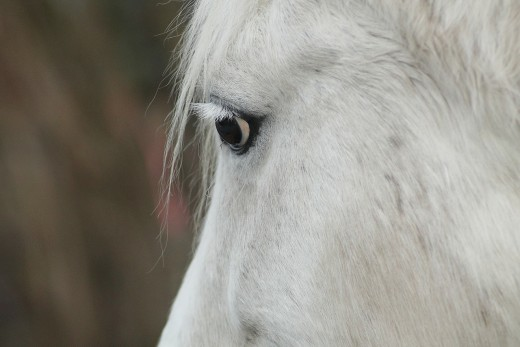 Horses have a wide field of vision