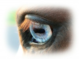 Eye color does not affect vision of horses